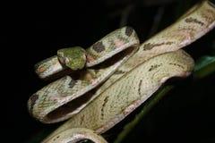 白被察觉的猫蛇 免版税库存图片