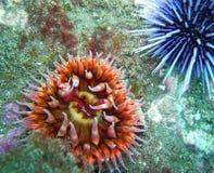白被察觉的罗斯银莲花属和紫色海胆 库存照片