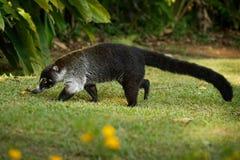 白被引导的浣熊-美洲浣熊narica,叫作家庭浣熊科浣熊的长鼻浣熊、成员和他们的亲戚 ?? 库存图片