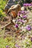 白被引导的浣熊(美洲浣熊narica) 库存照片
