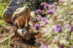 白被引导的浣熊(美洲浣熊narica) 图库摄影