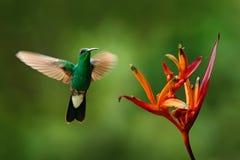 白被放气的Plumeleteer, Chalybura buffonii,从哥伦比亚,在美丽的红色花旁边的绿色鸟飞行的绿色蜂鸟与 库存图片