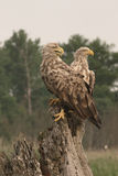 白被盯梢的海老鹰, Haliaeetus albicilla 库存照片
