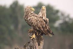 白被盯梢的海老鹰, Haliaeetus albicilla 库存图片