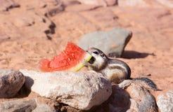 白被盯梢的羚羊灰鼠(Ammospermophilus leucurus)扯拽西瓜外皮 免版税库存照片