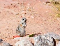 白被盯梢的羚羊灰鼠(Ammospermophilus leucurus)站立关于西瓜外皮的一个专栏 免版税库存照片