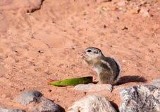 白被盯梢的羚羊灰鼠(Ammospermophilus leucurus) fo 免版税库存图片