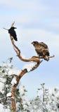 白被盯梢的老鹰和乌鸦 库存照片