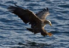 白被盯梢的老鹰在飞行中,钓鱼 免版税库存图片
