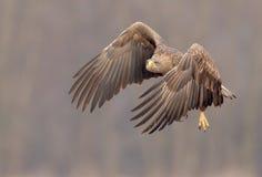 白被盯梢的老鹰开始飞行 库存图片