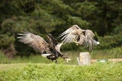 白被盯梢的老鹰战斗 免版税库存照片