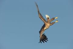 白被盯梢的老鹰特技飞行 免版税库存照片