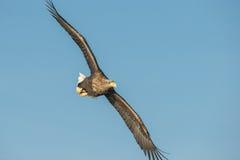 白被盯梢的老鹰特技飞行 免版税库存图片