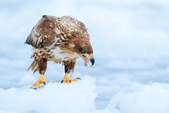 白被盯梢的老鹰, Haliaeetus albicilla,北海道,日本 行动在冰的野生生物场面 鸟在自然海栖所,与集成电路的雪 图库摄影