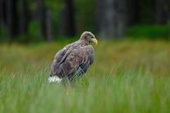 白被盯梢的老鹰, Haliaeetus albicilla,坐在绿色沼泽草,森林在背景中 图库摄影
