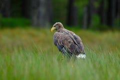 白被盯梢的老鹰, Haliaeetus albicilla,坐在绿色沼泽草,森林在背景中 免版税库存照片