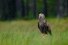 白被盯梢的老鹰, Haliaeetus albicilla,大雨,坐在绿色沼泽草,森林在背景中 免版税库存照片