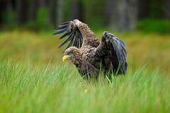 白被盯梢的老鹰, Haliaeetus albicilla,登陆在绿色沼泽草,与开放翼展,森林在背景中 库存照片