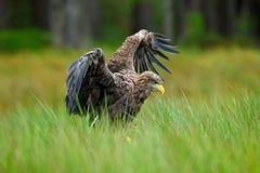 白被盯梢的老鹰, Haliaeetus albicilla,登陆在绿色沼泽草,与开放翼展,森林在背景中 免版税库存照片