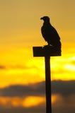 白被盯梢的老鹰 免版税库存照片