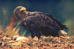白被盯梢的老鹰 库存照片