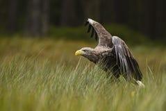 白被盯梢的老鹰- Haliaeetus albicilla 库存照片