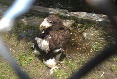 白被盯梢的老鹰Bielik Haliaeetus albicilla 免版税库存图片