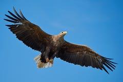 白被盯梢的老鹰Haliaeetus albicilla 免版税库存图片
