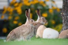白被盯梢的长耳大野兔在后院庭院里 免版税库存图片