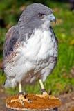 白被盯梢的鹰 库存图片