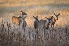白被盯梢的鹿做移动在日出 免版税库存照片