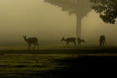 白被盯梢的鹿在有雾的早晨 库存图片