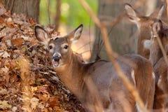 白被盯梢的鹿在森林 免版税库存图片