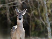 白被盯梢的鹿在森林 库存图片