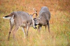白被盯梢的鹿大型装配架争吵 库存图片