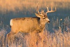 白被盯梢的鹿大型装配架在早晨阳光下 免版税库存照片