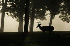 白被盯梢的鹿大型装配架在有雾的早晨 免版税库存图片