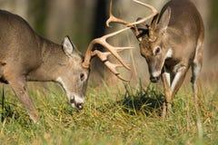 白被盯梢的鹿大型装配架 库存照片
