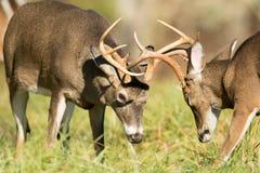白被盯梢的鹿大型装配架 图库摄影