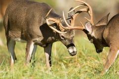 白被盯梢的鹿大型装配架 免版税库存照片