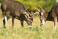 白被盯梢的鹿大型装配架 库存图片