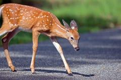 白被盯梢的鹿小鹿 库存照片