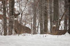 白被盯梢的鹿母鹿在冬天 免版税库存照片