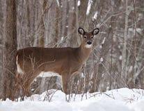 白被盯梢的鹿母鹿在冬天 图库摄影