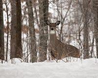 白被盯梢的鹿母鹿在冬天 免版税图库摄影