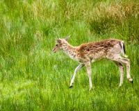 白被盯梢的鹿空齿鹿属virginianus 图库摄影