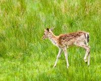 白被盯梢的鹿空齿鹿属virginianus 库存图片