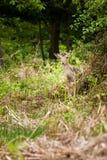 白被盯梢的鹿空齿鹿属virginianus 免版税库存照片