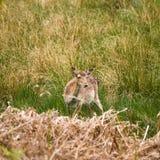 白被盯梢的鹿空齿鹿属virginianus 免版税库存图片