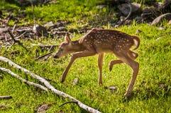 白被盯梢的鹿讨好(空齿鹿属仔细virginianus)步 免版税库存照片